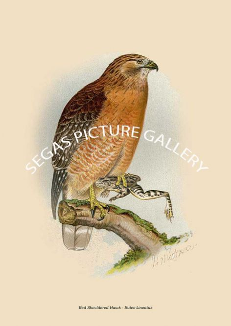 Fine art print of the Red Shouldered Hawk - Buteo Lineatus by Robert Ridgway (1893)